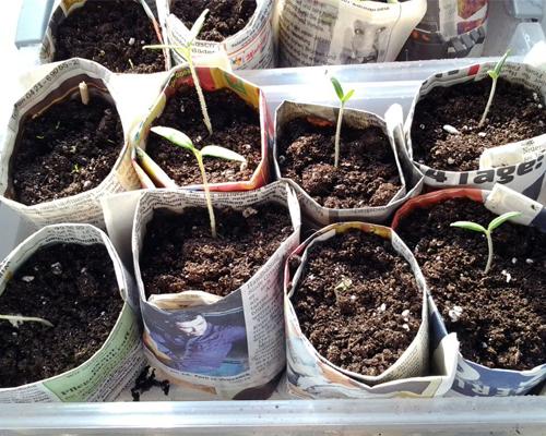 Indoor-Gewächshaus zum Pflanzen vorziehen auf der Fensterbank