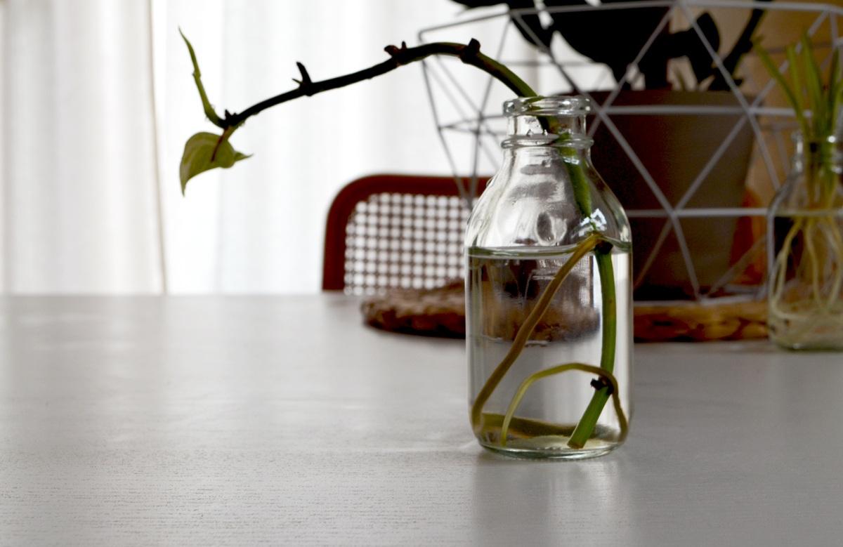 Pflanzen vermehren auf der Fensterbank - Von Grünlilie bis Zauberschnee